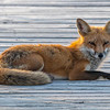 A Red Fox Relaxing On The Boardwalk 6/10/21
