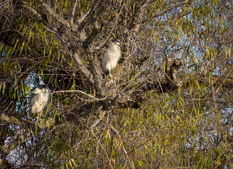 Black Crowned Night Heron 692