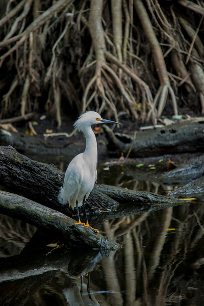 Snowy Egret, Photo taken in March, 2013. Corkscrew swamp sanctuary, Immokalee, Florida.
