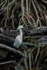 Snowy Egret, Photo taken in March, 2013. Corkscrew swamp sanctuary, Immokalee, Florida.