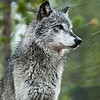 Gray Wolf, Yellowstone National Park