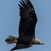 Bald Eagle 3/9/17