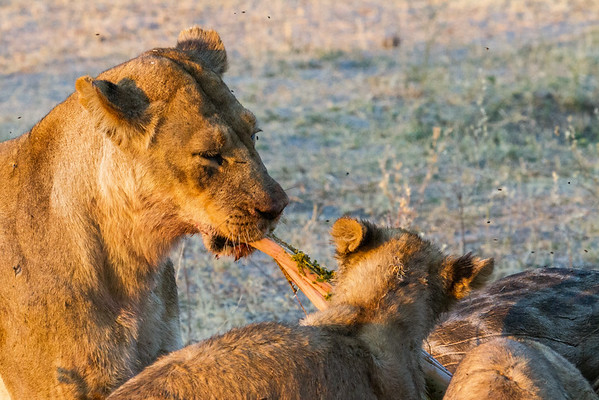 Lioness and cub feast
