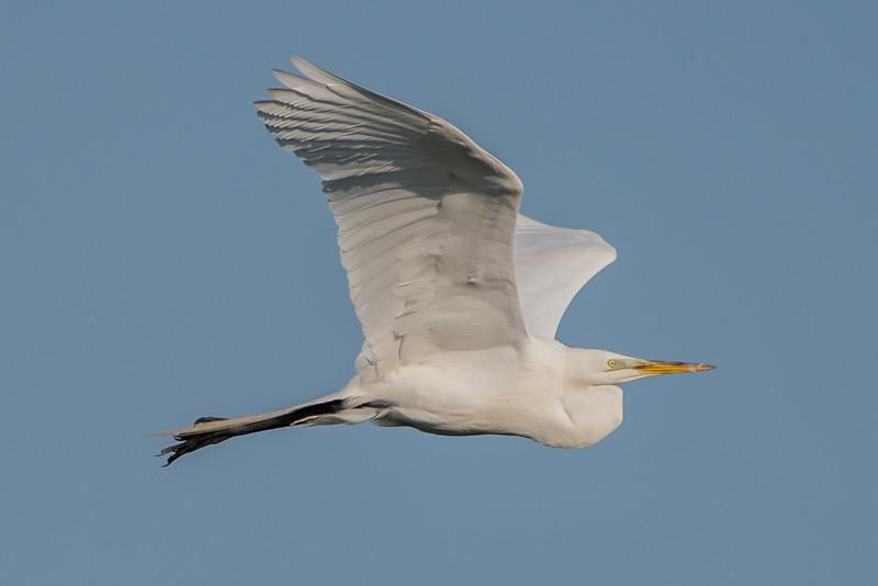 Great Egret 5/25/16