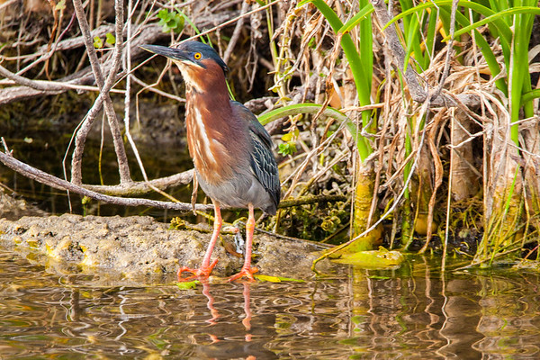Florida Everglades Green Heron