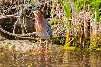 Florida Everglades Green Heron