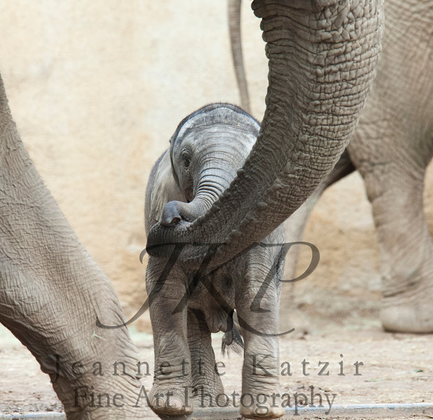 An Elephant Calf and a band of trunks