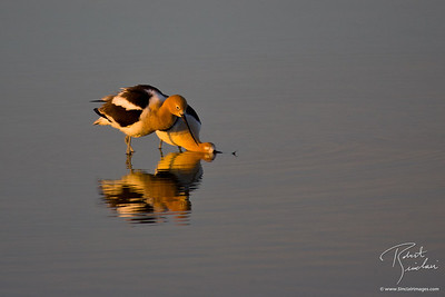 Pair of American Avocet at Sunrise
