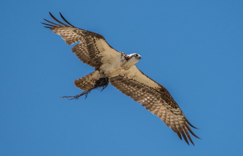 An Osprey In Flight 6/15/16