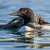 Loon Chick Tucked Beneath Wing of Adult Male