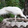 351 - White Peacock, Austin