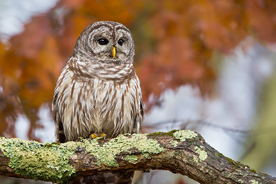 Foliage Barred Owl