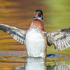 Wood Duck Drake Flapping Wings