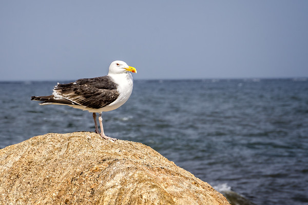 Seagull on Watch