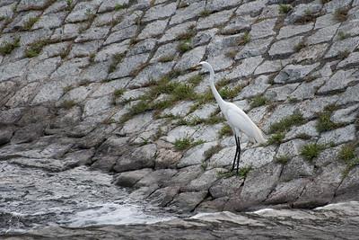 Egret, (Australasian) Great White