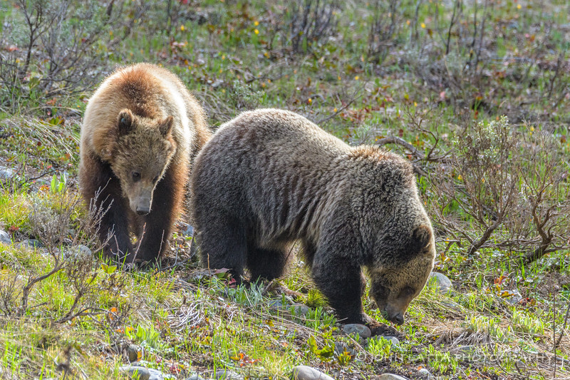Two Unrelated Subadult Grizzlies Feeding Together