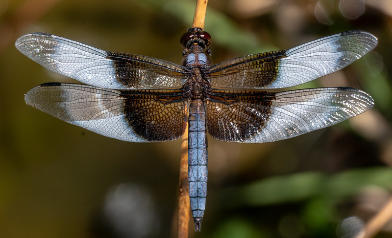 Dragonfly 2528