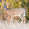 White-Tailed Deer 11/11/16
