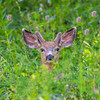 Young Mule Deer Buck in Deep Forest