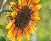 Honeybee Hovering over Sunflower