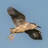 Black-Crowned Night Heron 5/25/16
