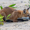Red Fox Kit About To Pounce 5/31/21