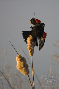 Sunrise Song of the Redwinged Blackbird