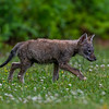 A Coyote Pup 6/5/20