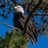 A Bald Eagle Perched In A Tree 1/11/19