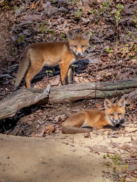 Red Fox Kits 5/5/20