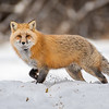 Red Fox on Ridgeline