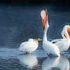 May 6 - Laughing Pelicans<br /> <br /> I saw these Pelicans huddled all together with their heads tucked to stay warm on a cold morning in Montana on the Yellowstone River.  I stayed awhile and they started to come out of their huddle and stretch.  This is when I took the image.  To me, it looks like they are laughing with one of them with its head back  and laughing.  I had always associated a pelican with the ocean so I have learned something new!<br /> <br /> I really appreciate all the comments on my pink dogwood bloom image I posted yesterday and apologize for not being able to comment.