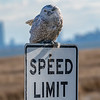 A Snowy Owl Perched On A Speed Limit Sign 12/8/20