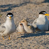 Least Tern Family 6/18/16