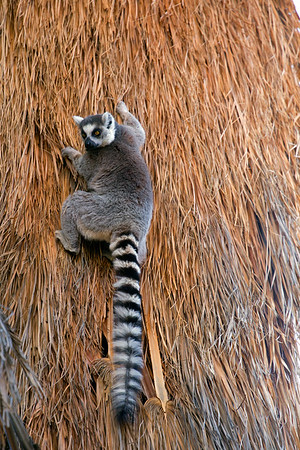 Ring-Tailed Lemur native to the island of Madagascar.