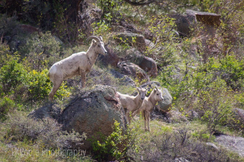 Big Horn Sheep in the Park