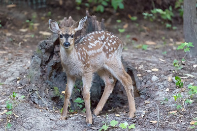 Young doe in backyard