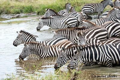Thirsty Zebras
