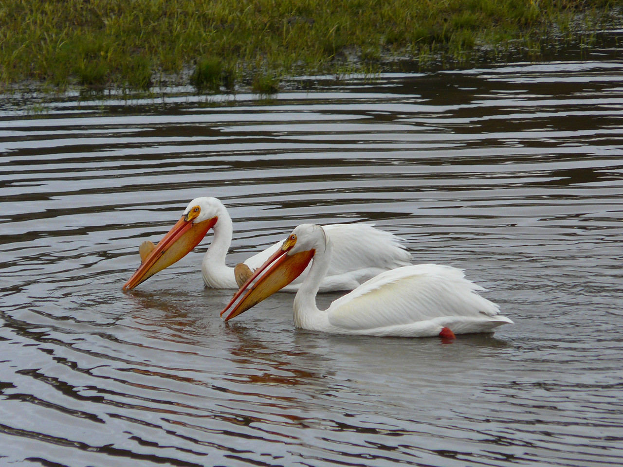 American Pelican on the Yellowstone River - Yellowstone National Park