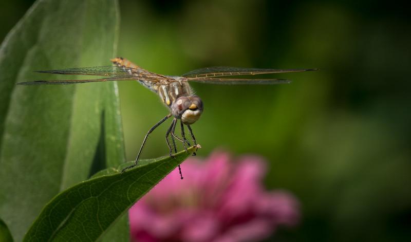 Dragonfly 3210