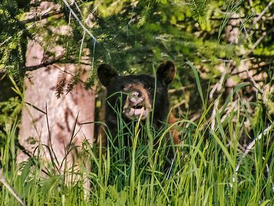 Fort Hall Bear