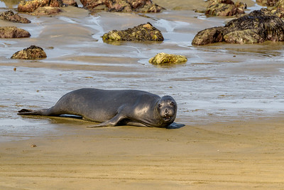 Elephant Seal, Returning to the Beach