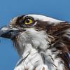 Osprey 4/2/17