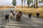 The road to Babanango, Wandering Goats, KwaZulu-Natal