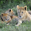 Lion Cubs in Ndutu Conservation Area in Tanzania, East Africa