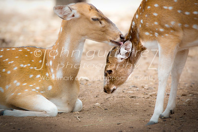 Fawns grooming-1