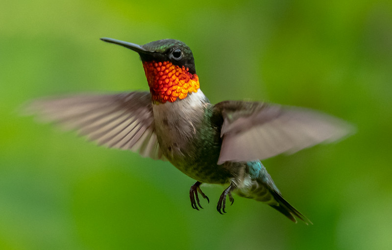 Ruby-Throated Hummingbird 7/3/19