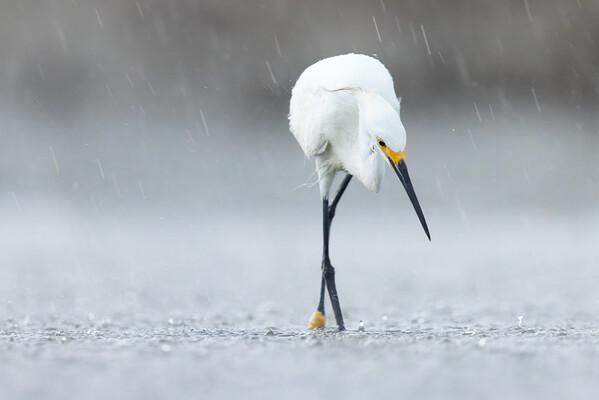 Snowy Egret in Rain  — Harbor Island, SC