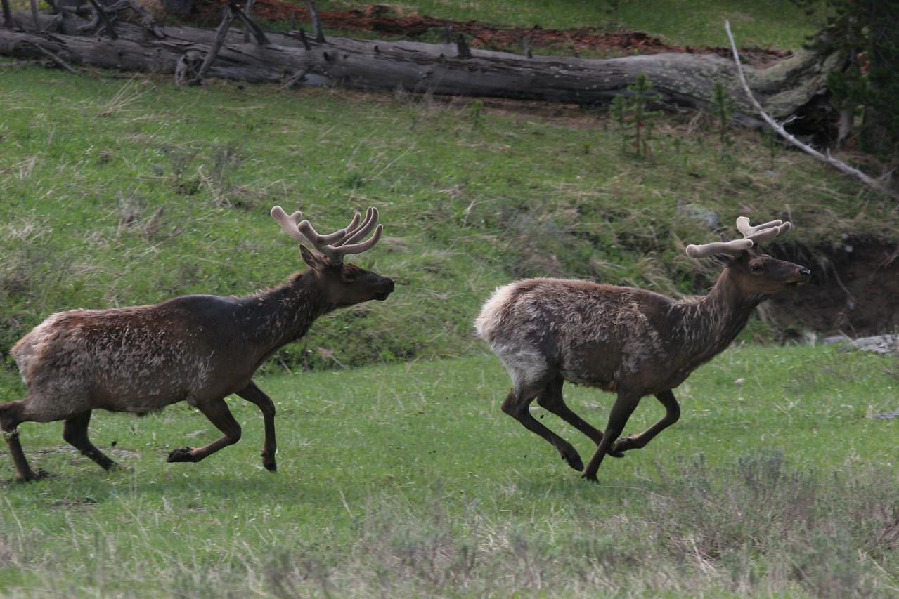 Elk at Play - near Elk Park, Yellowstone National Park