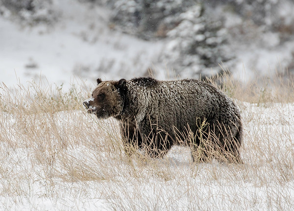 Grizzly Bear | Bridger Teton Forest | Wyoming